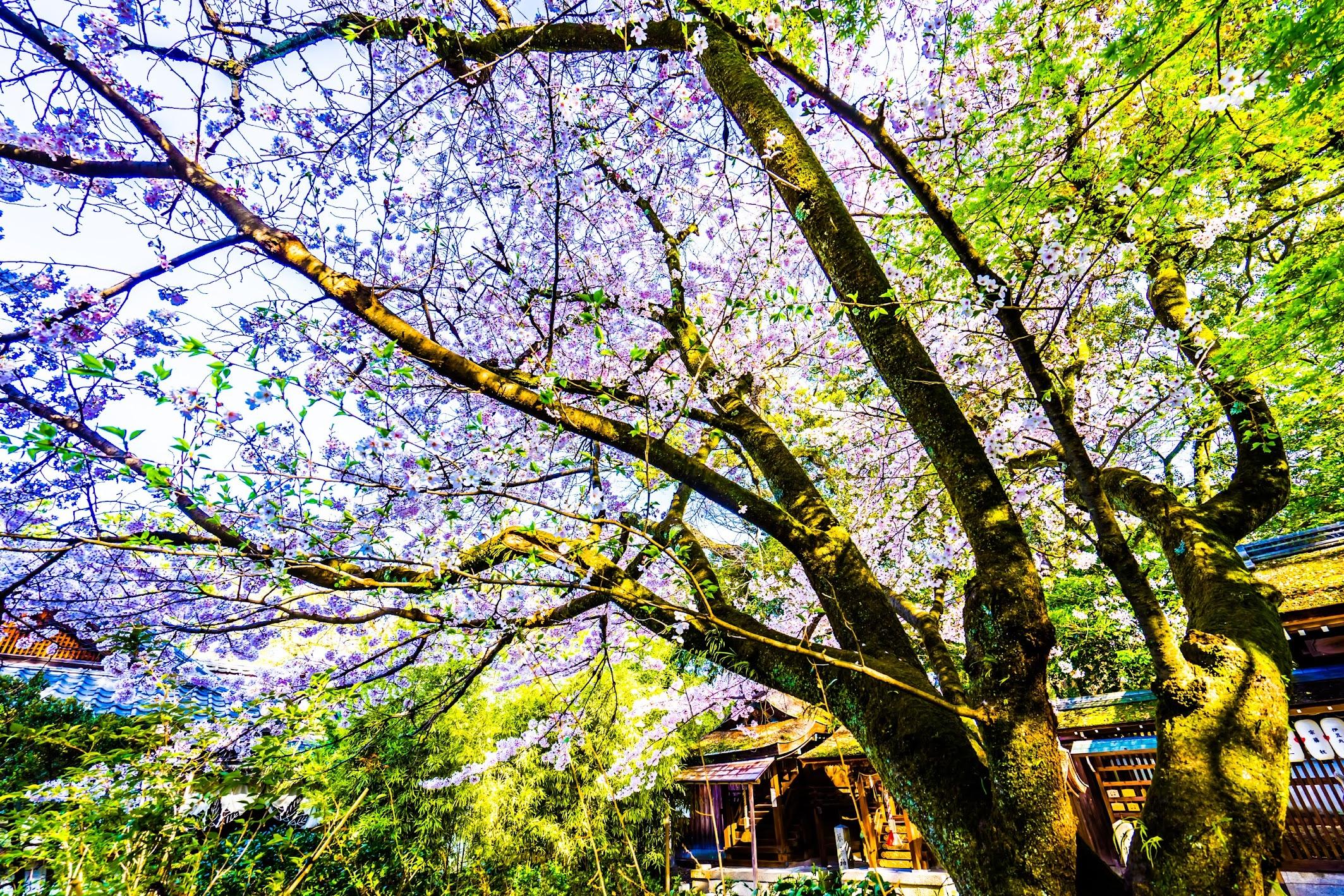 Kyoto Gyoen Munakata Shrine cherry blossoms2