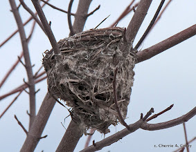 Photo: Multi-story yellow warbler's nest