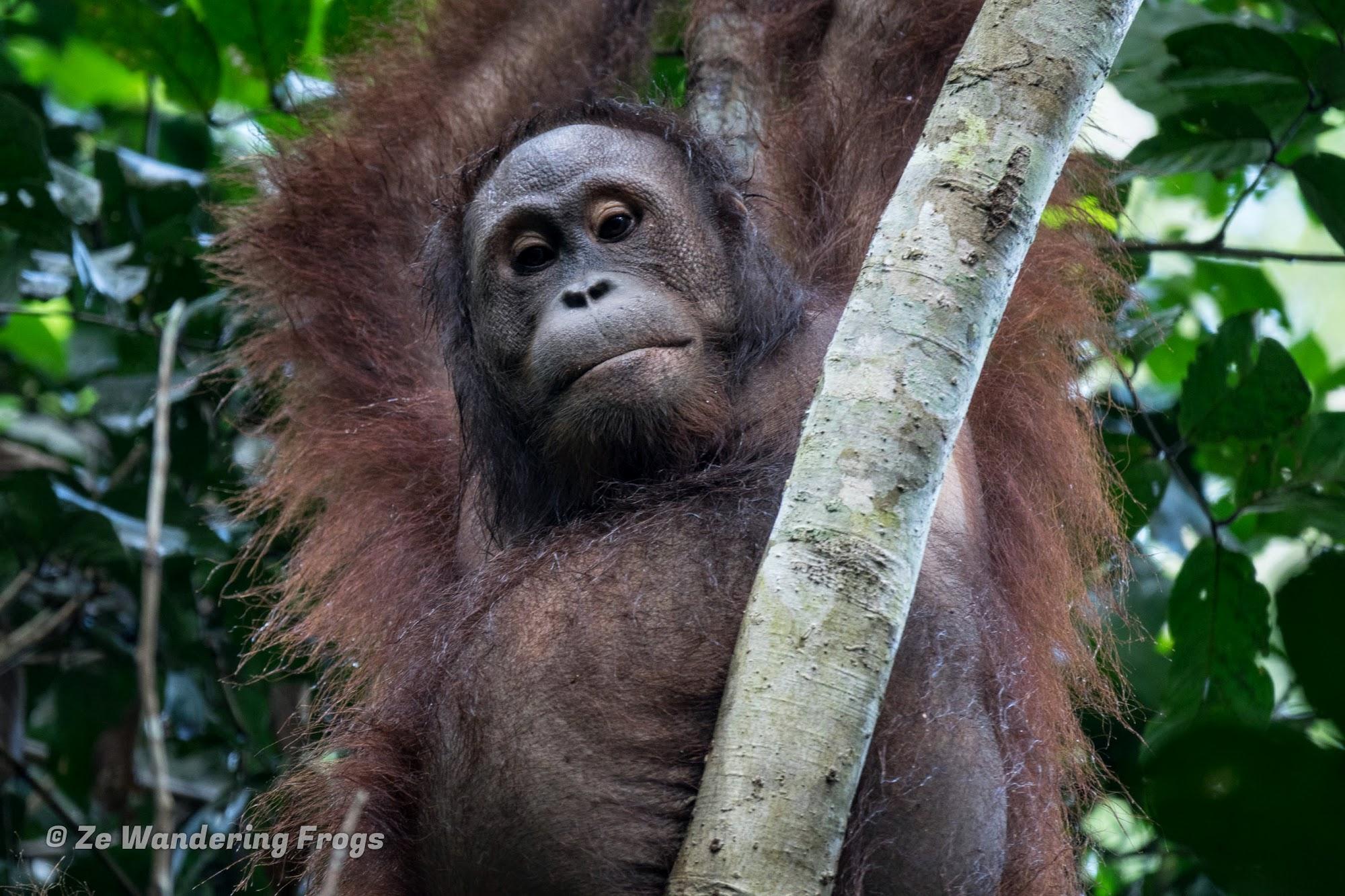 Searching For Wild Orangutans In The Borneo Jungle Of