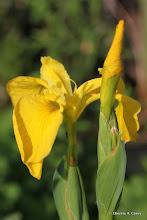 Photo: Yellow flag iris