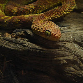 viper by Ruby Del Angel - Animals Reptiles ( snake, animals, nature, wildlife, reptile )