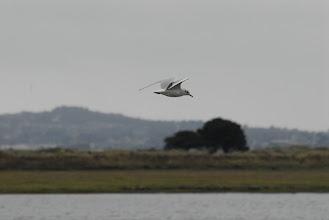 Photo: Black-headed Gull