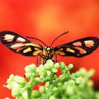 Zygaenid Moth