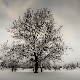 Apple tree by Rombe Kasňa - Nature Up Close Trees & Bushes ( sky, winter, nature, tree, snow, frost, garden )
