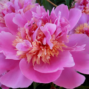 Pink peony by Snezana Petrovic - Nature Up Close Flowers - 2011-2013 ( with two, beautiful, ants, pink, peony )