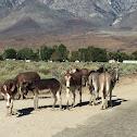 Wild burro or donkey