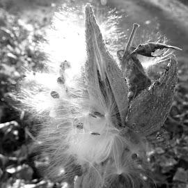 Milkweed Seedpod by Rita Goebert - Nature Up Close Other plants ( milkweed pods; burst pods; autumn; new york state; black and white fall photos;,  )