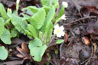 Photo: Day 2 - Lovely Primroses Nestled Amongst the Mud and Rotting Vegetation