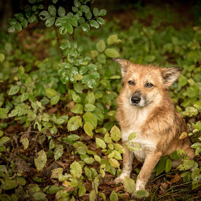 Foxy by Andreea Alexe - Animals - Dogs Portraits ( orange, fox, auumn, color, green, outdoor, forest, wet, stray, leaves, dog, friend, rain,  )
