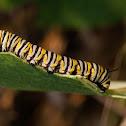 Monarch Butterfly (caterpillar)