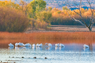 Photo: White pelicans pausing in the Bosque on their way south