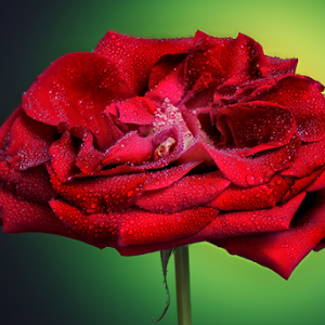 DSC_7344-Rose-GreenBG.jpg
