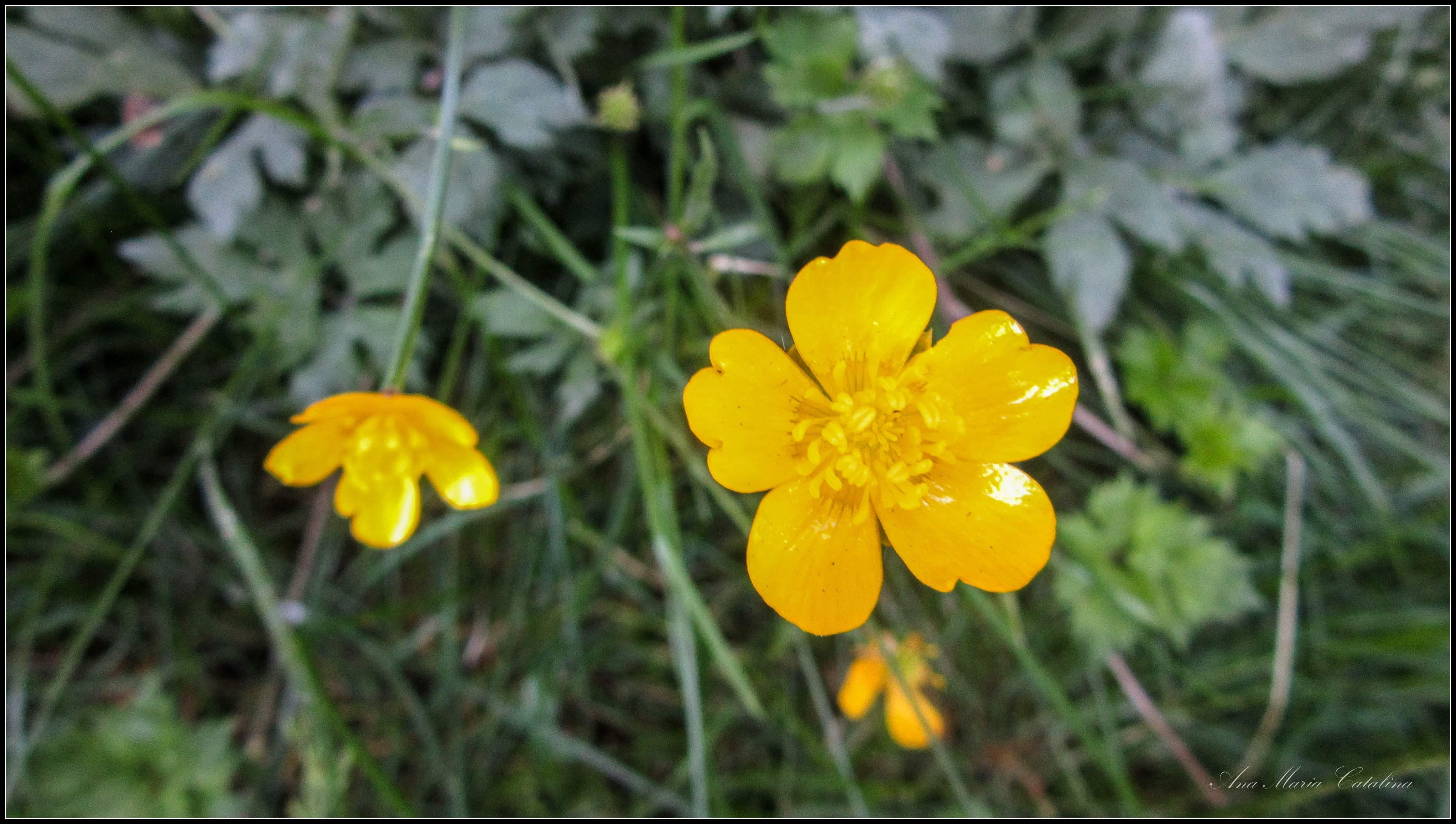 Photo: Piciorul cocoșului (Ranunculus repens L.) de pe Str. Libertatii - 2018.05.24  album:  http://ana-maria-catalina.blogspot.ro/2018/05/piciorul-cocosului-ranunculus-repens-l.html