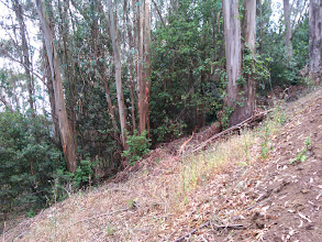 Photo: Thinning would mean removing the small trees, IE stunted natives and eucalyptus sprouts. This would result in a monocrop of eucalyptus and poison oak.