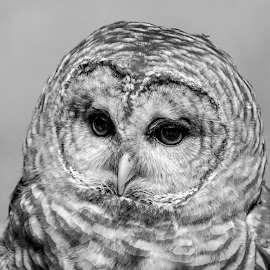 Barred Owl in B&W by Debbie Quick - Black & White Animals ( barred owl, raptor, debbie quick, owl, nature, debs creative images, birds of prey, outdoors, bird, animal, black and white, wild, hudson valley, wildlife )