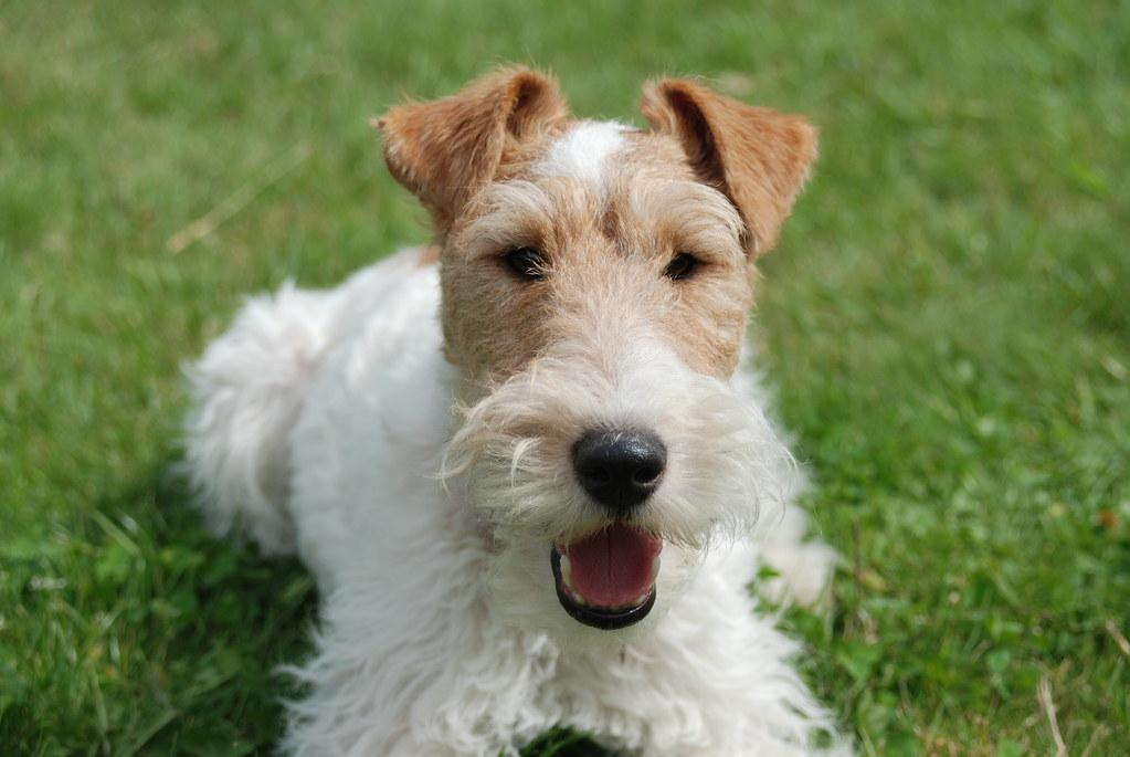 Gatsby, the wire fox terrier, looking cute | AHLN | Flickr