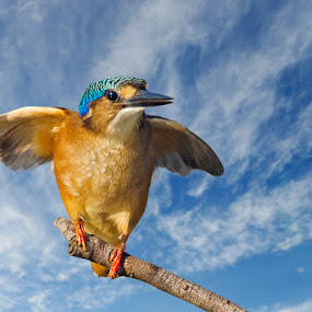 Ready for flight by Robbie Aspeling - Animals Birds ( bird, avian, kingfisher, malachite, africa )