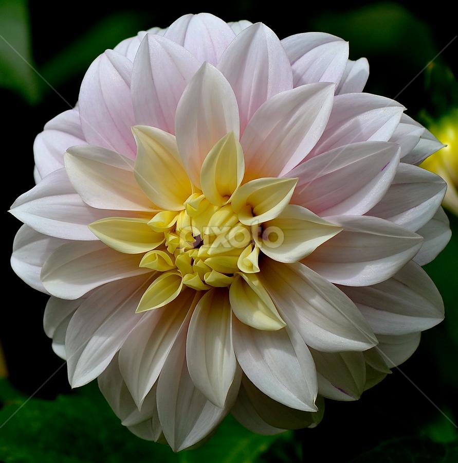 Dahlia2 by Richard Idea - Nature Up Close Flowers - 2011-2013 ( , shapes geometric patterns  )