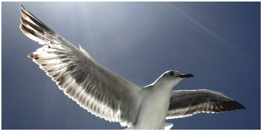 The Holy Seagull by Isaac De Jesus - Novices Only Wildlife ( bird, flight, seagull, holy, light )