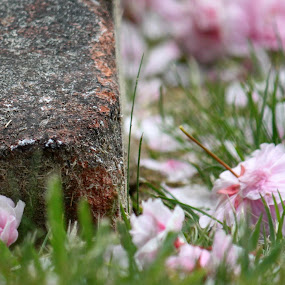 Cherry Blossoms on the ground by Neva Swensen - Nature Up Close Gardens & Produce