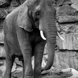 Elephant by Andrew Moore - Black & White Animals (  )