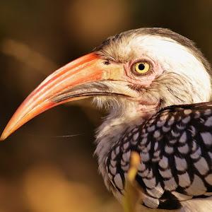 Southern Red Billed Hornbill 2.JPG