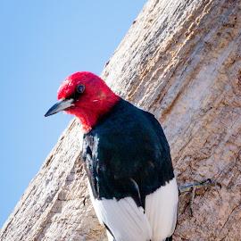 Red Headed Woodpecker by Jim Hendrickson - Novices Only Wildlife ( bird, red headed woodpecker, headed, red, wildlife, woodpecker, birds )