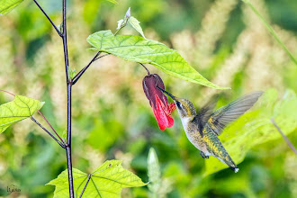 Photo: abutilon (flowering maple) Jimmy Chiu