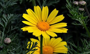 Photo: Chrysanthemum coronarium