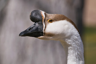 Photo: Goose giving me the eye at Ashley Pond pond