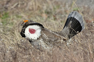 Photo: Dusky Grouse