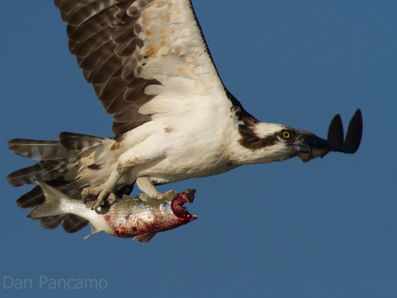Photo: Last Flight of the Headless Mullet
