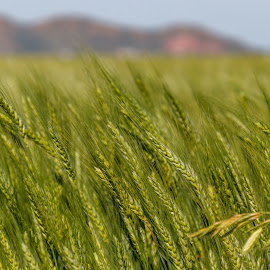 Spring Wheat by Kathy Suttles - Nature Up Close Leaves & Grasses ( wavingwheat, springwheat, oklahoma, greenfields, altus, suttlimpressions )