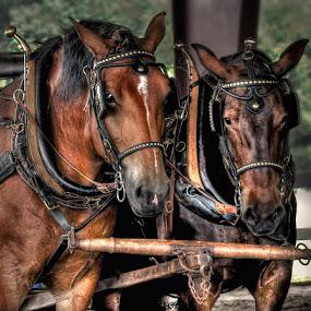 Deedee and Bambi by Irene Orloff - Animals Horses