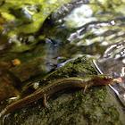 Dark-sided salamander