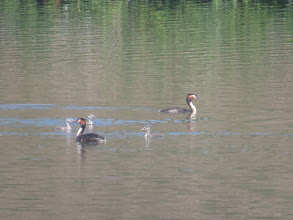 """Photo: 15 Jul 13 Trench Middle Pool: Yet another """"parents with juveniles"""": the new Great Crested Grebe brood at Middle Pool, Trench. (Ed Wilson)"""