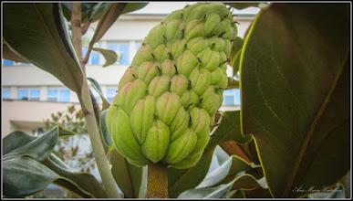 Photo: Magnolia grandiflora - Din Turda, Piata 1 Decembrie 1918, spatiu verde - 2018.09.22