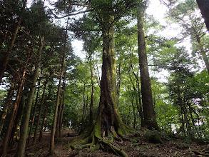 この辺り巨木が多く