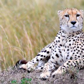 Cheetah by Justin Bowen - Animals Other Mammals ( cheetah, maasai mara, cat )