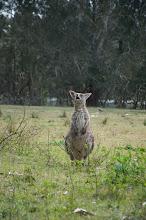 Photo: позіхаючий кенгуру - таке не часто зустрінеш