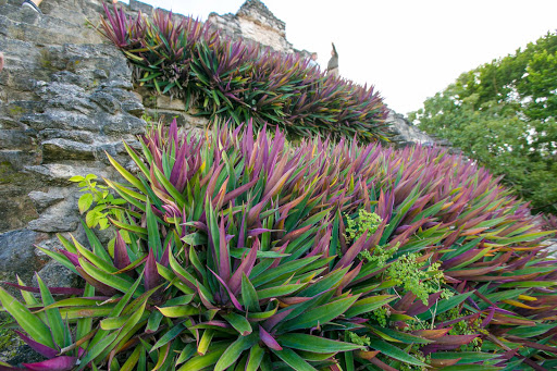 Boat lilies line the front of a pyramid at the Mayan ruins of Dzibanche in Mexico's Costa Maya region.
