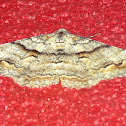 Gastrinodes moth