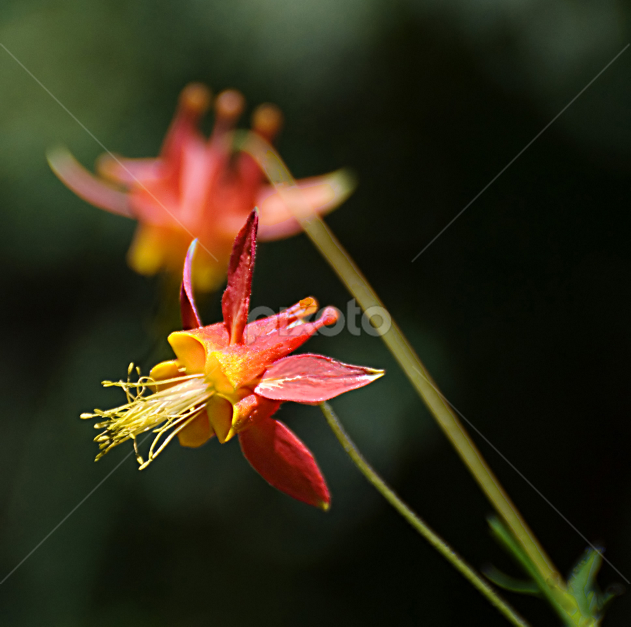Duet by Clyde Smith - Nature Up Close Flowers - 2011-2013 ( orange, columbine, wildflower, yellow, flower )
