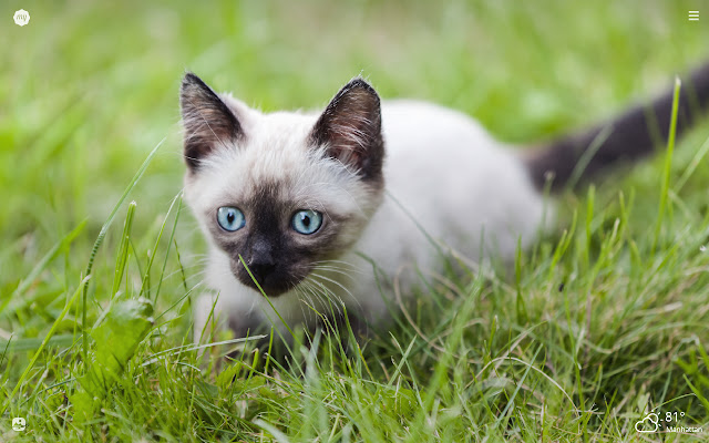 My Siamese Cat HD Wallpapers New Tab Theme