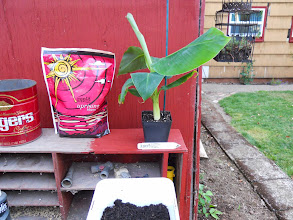 """Photo: Now on to his new 7"""" pot. I planted him in some fresh standard potting soil. I used both greening and blooming fertilizer we have to get closer to what Cavendish likes. I fed Caven but I need to get some more specific fertilizer just for him."""