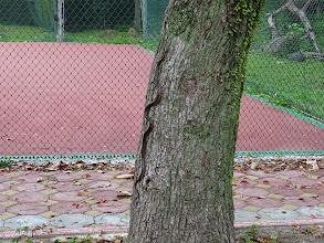 Photo: 為了拍這條蛇,右膝扭傷痛了一整天,下午去敷了跌打損傷中藥,晚上看復健科吃了消炎止痛,今天才好多了 瓊華師說應該是紅斑蛇,此樹已部分乾枯而中空,紅斑蛇進去後,又鑽出來,蛇看到我又躲回去。