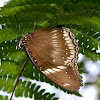 Common Eggfly, Female