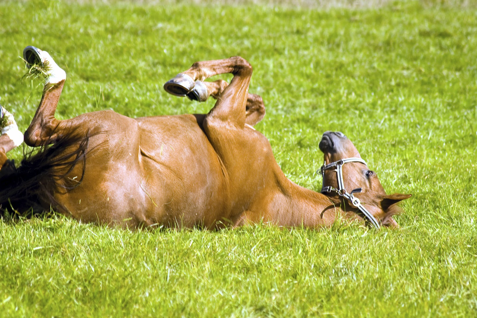 Horse Laying on Back