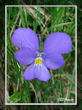 Photo: Pensée des Alpes, Viola calcarata