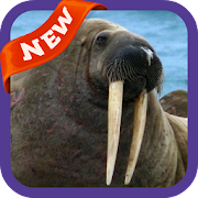 Walrus Wallpaper